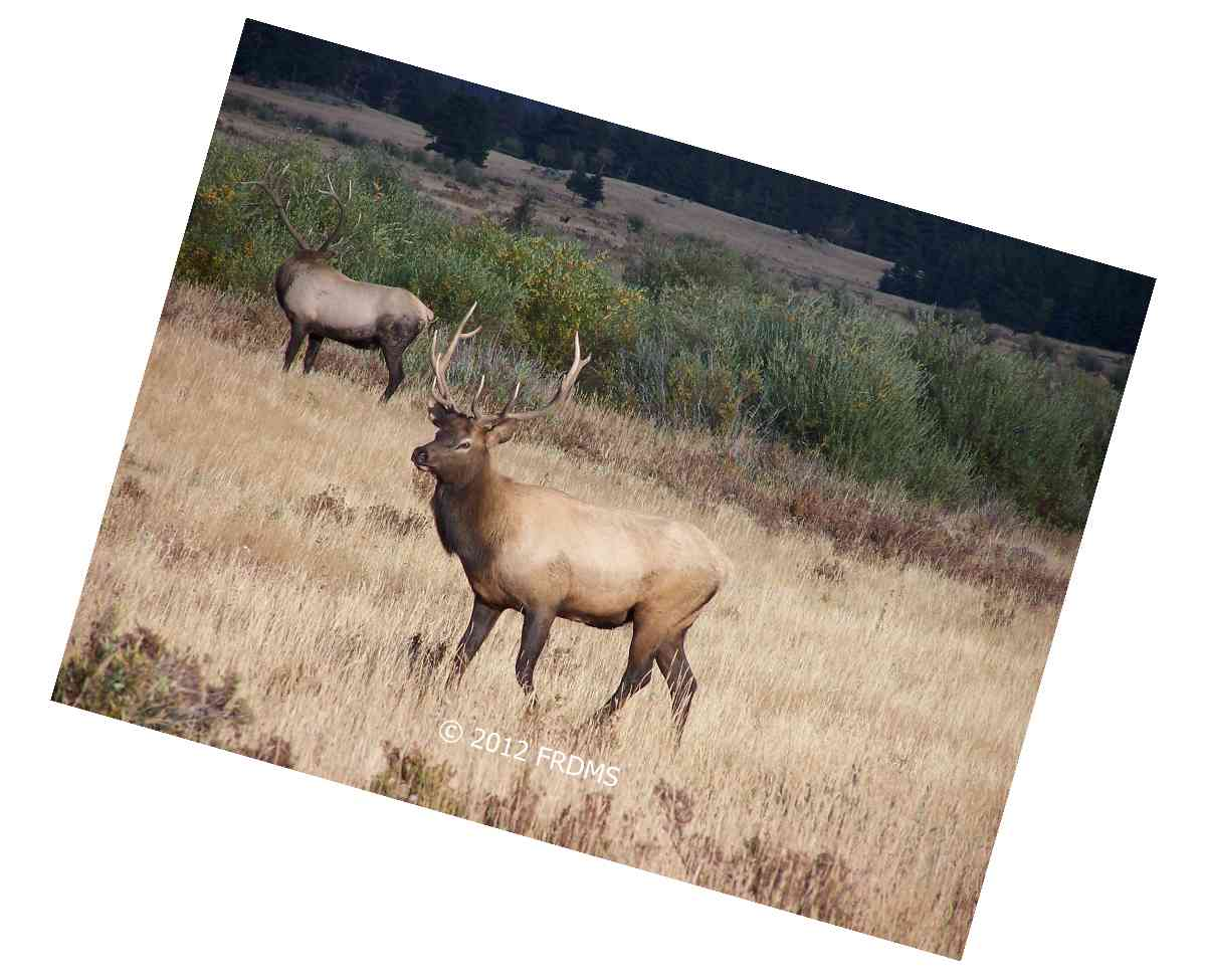 Bull Elk Frolicking